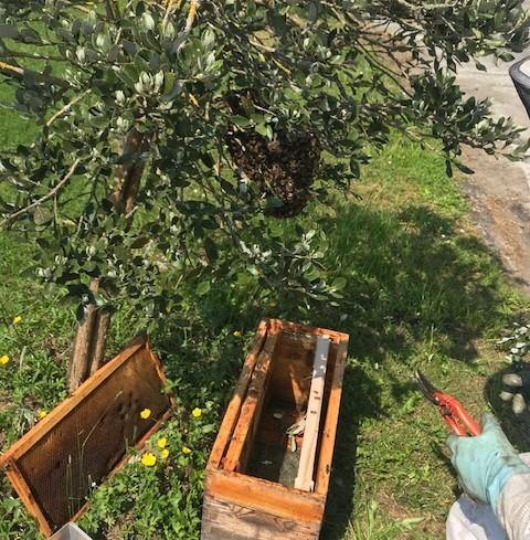 essaim abeilles rucher de claron