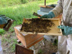 abeille reine rucher bougue