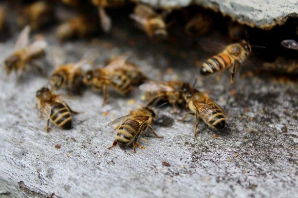 abeilles visite miellerie bougue