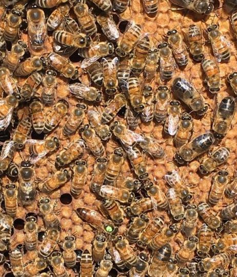 vente essaim abeille carnica